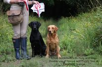Gundog training Petworth, Puppy classes Pulbrough and Haslemere, Louie Robertson, Troddenmills into the dark of Mitforton, Bedgebrook Scrumptious, Gundog trainer, Labrador,